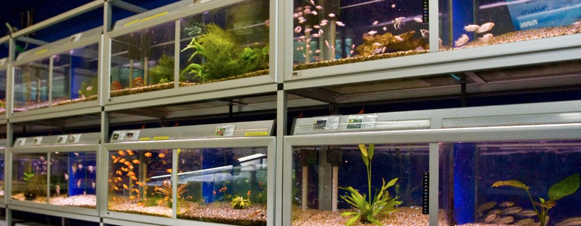 Vi har de vanliga sällskapsfiskarna för ditt akvarium